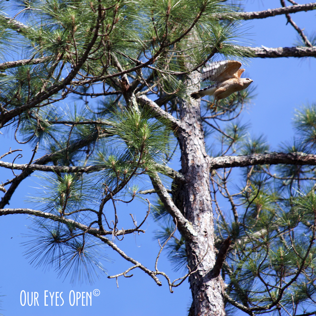 Red-shouldered Hawk taking flight from a pine tree at St. Marks Wildlife Refuge.