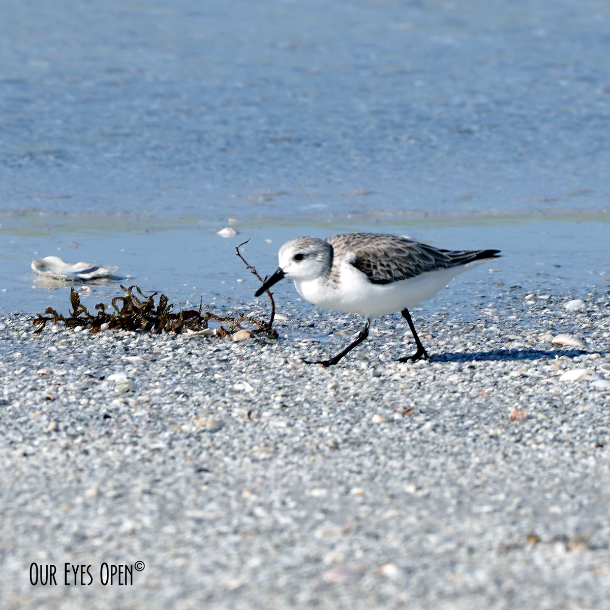 Sanderling strolling along the shoreline.
