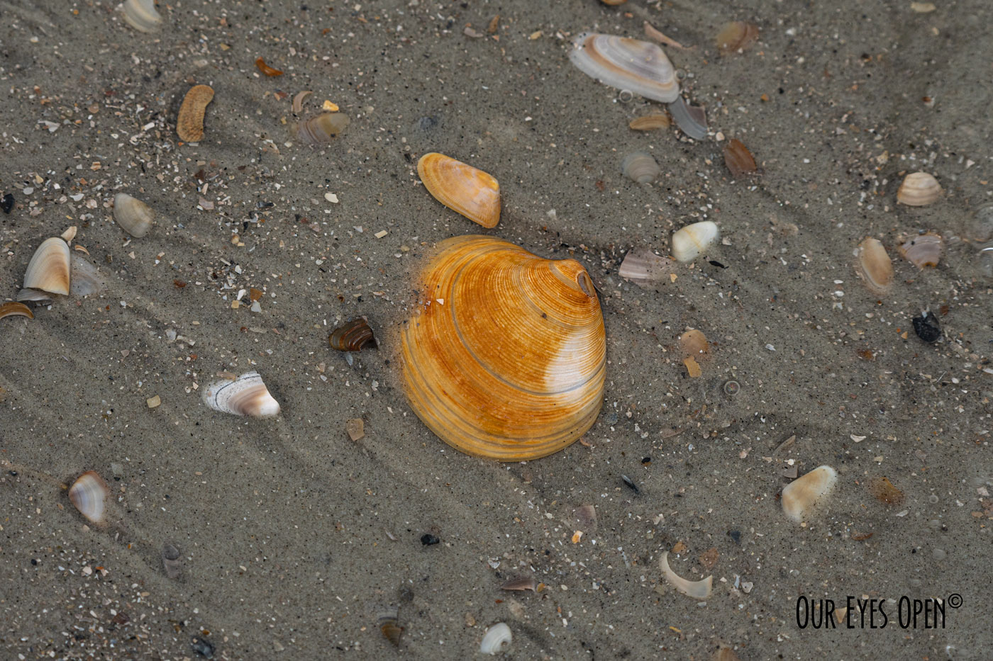 Shell washed ashore from the tide in the Atlantic Ocean at Florida beach.