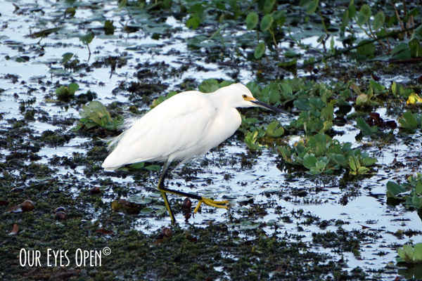 Snowy Egret wading around looking for food and slowly lifts each leg and slowly puts them back down in a stalking manner.