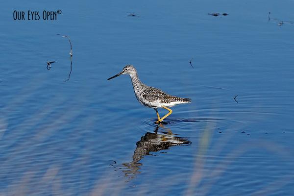 Greater Yellowlegs stalking his prey ast St. Marks Wildlife Refuge in April.
