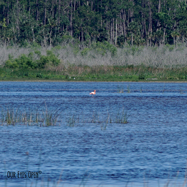 American Flamingo which is rare to see in north Florida has been in the St. Marks Wildlife Refuge for two years.  It is believed to have blown in with Cat 5 Hurricane Michael 2 years ago.