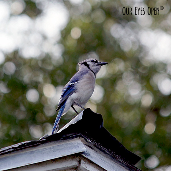 Blue Jay hanging out on top of a roof shed.  There were about 30 in the neighborhood and it was quite loud!