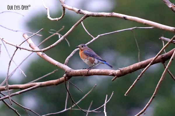 Female Eastern Bluebird perched upon a manmade branch attached to our feeders.