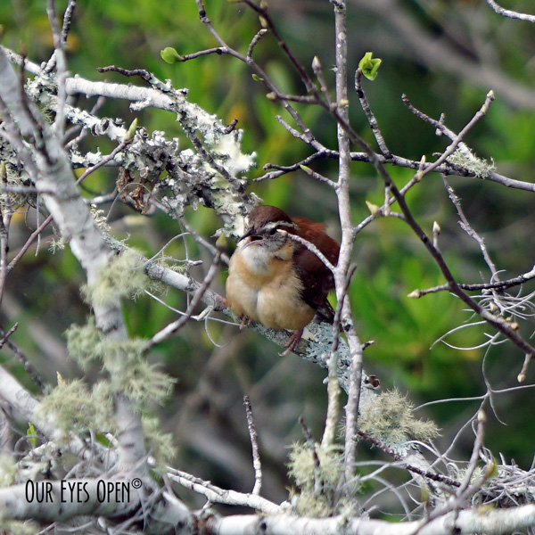 Carolina Wren singing loudly while we observed from the 4th story of the tower at the end of Chesser Island Boardwalk in Okefenokee Wildlife Management area in Georgia.