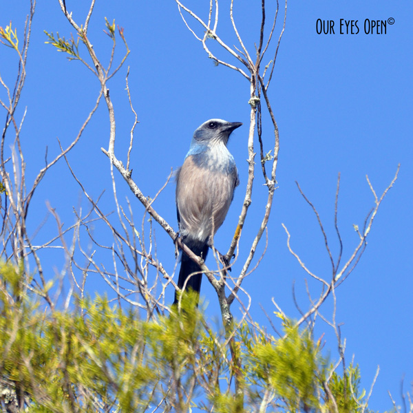 Florida Scrub-Jay found only in Florida in scrub oak areas.  This photo was taken at the Cape Canaveral National Seashore.