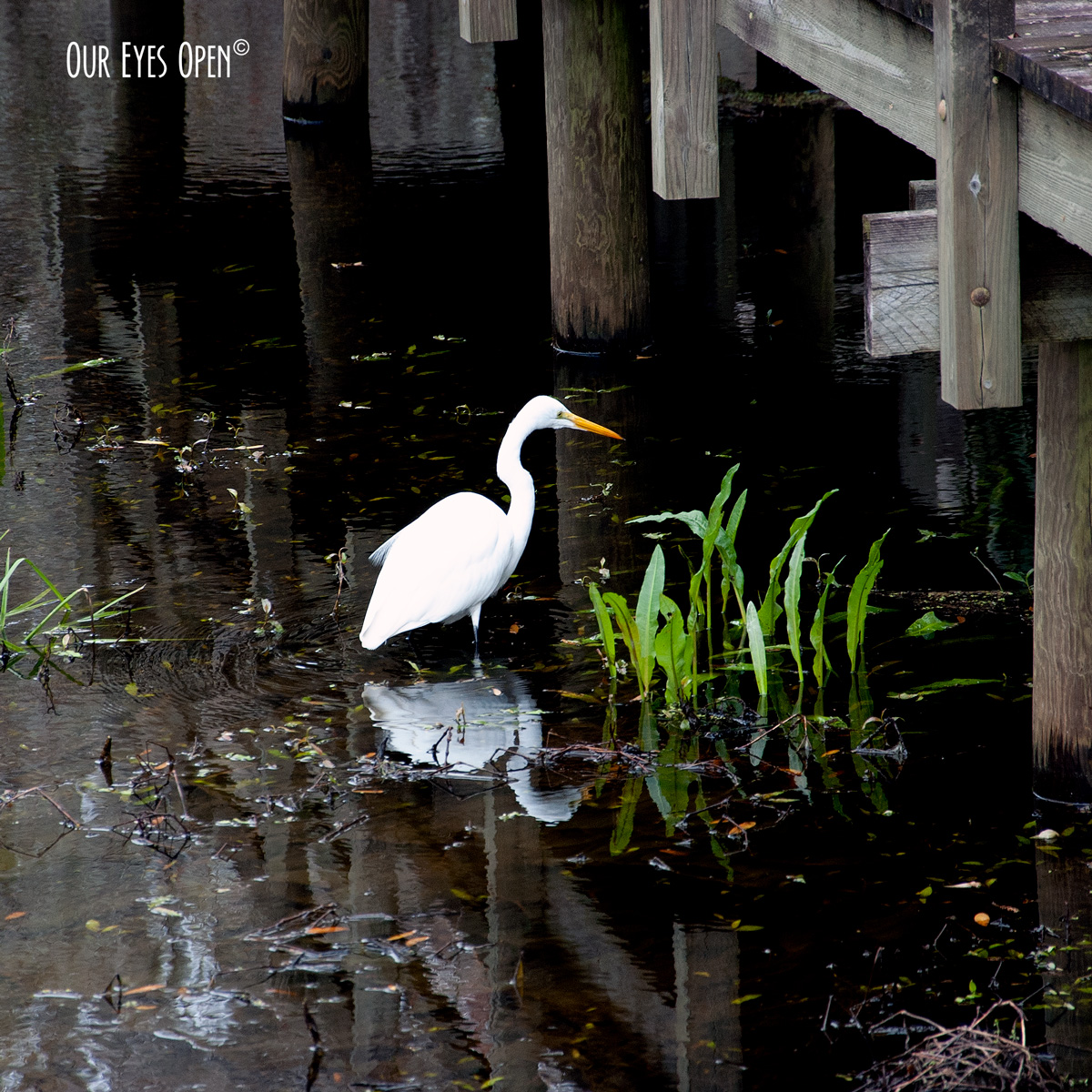 Great Egret looking for a fish in the swamp of Lettuce Lake Park, Tampa, Florida.