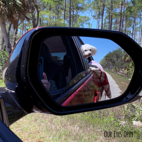 My perspective of seeing our Bichon Frise, Heaven looking out the window while on a road trip. We were going slow looking for birds.