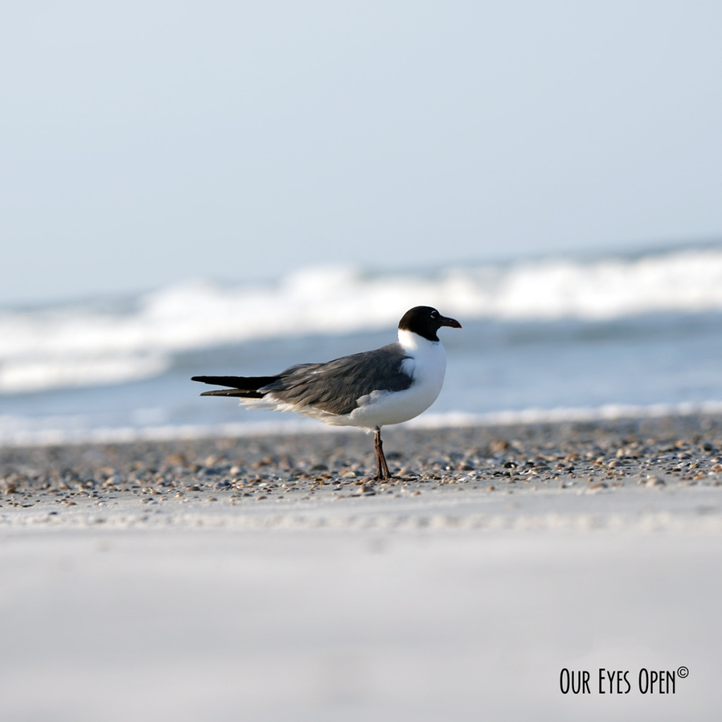Laughing Gull stands patiently while getting photos taken and looking out towards the Atlantic Ocean on Little Talbot Island State Park beach.