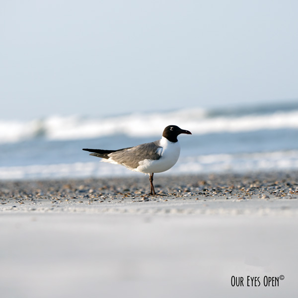 Laughing Gull stands patiently while getting photos taken on Little Talbot Island State Park beach.