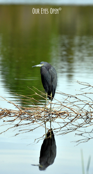 Little Blue Heron with a wonderful reflection chilling out on the lake.