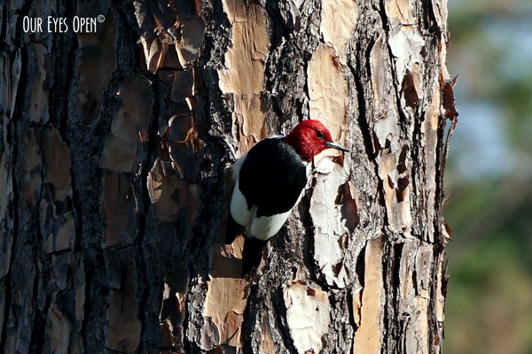Red-headed woodpecker clinging to a pine tree in the Okefenokee forest of the Wildlife Refuge in Georgia.