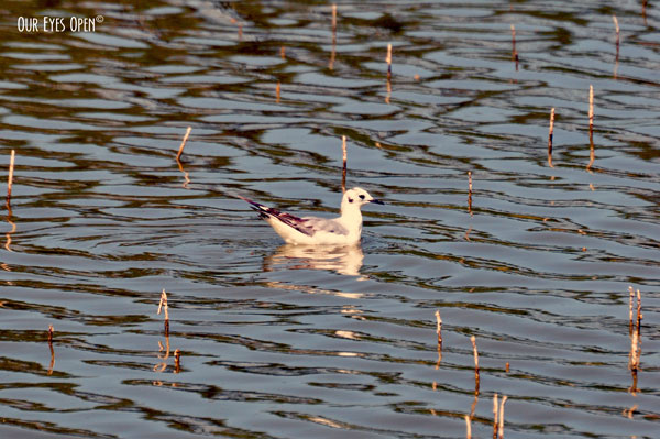 Bonaparte's Gull swimming along. Distinctive from the spot on the back of the head/neck area.