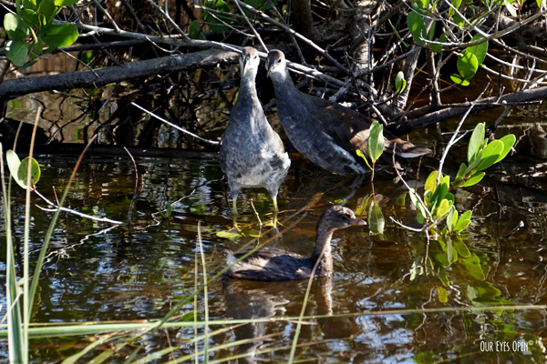 Juvenile Common Gallinule watching a Pied-billed Grebe swim by.
