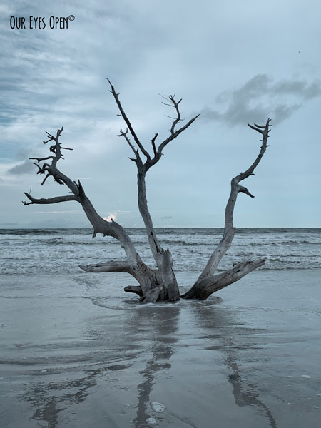 Tree still rooted to the beach but erosion from several hurricanes claimed it a few years ago.