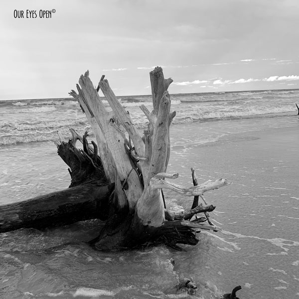 Roots of a fallen tree along the beach at Little Talbot Island.  It is quickly turning into driftwood.