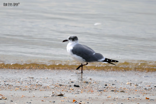 Franklin's Gull stepping through the water along the shoreline at the beach.