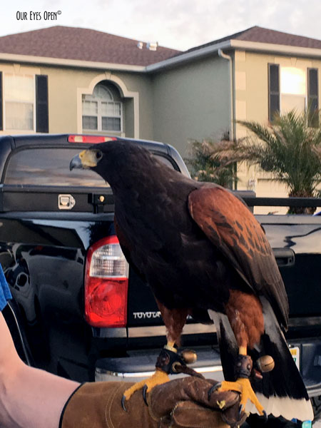 Harris's Hawk, popular with falconers. This guy lives in Wesley Chapel, Florida.