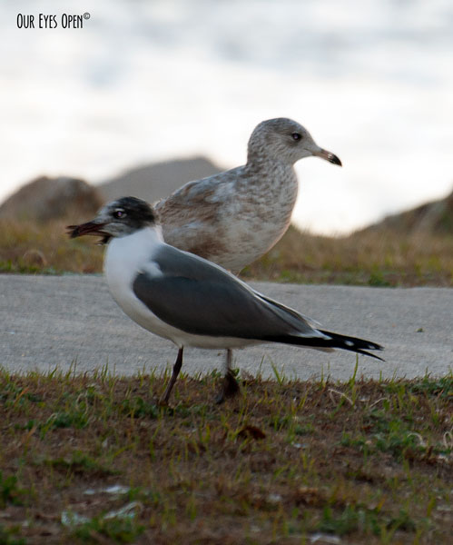 Franklin's Gull in the foreground with the Herring Gull in the background in Tampa along the docks.