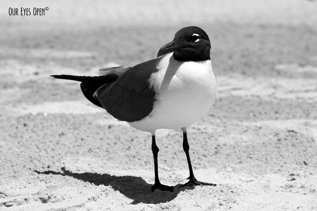 Laughing Gull standing on the sand at Little Talbot Island State Park Beach.