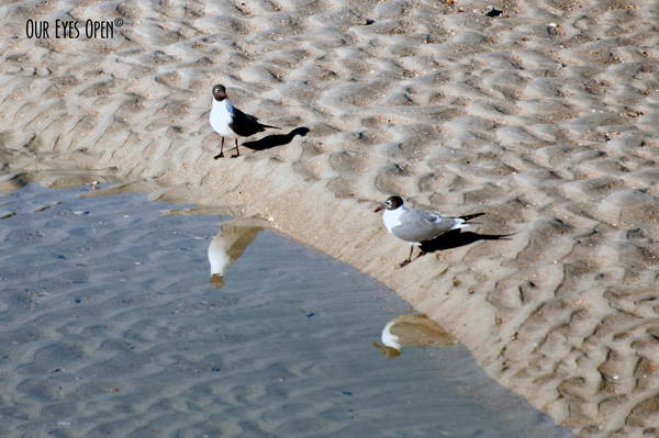 A pair of Laughing Gulls just on the edge of a small tidal pool looking at each other with their reflections looking at each other too.