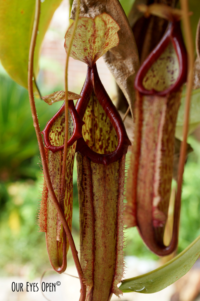Pitcher Plant is a carnivorous plant eating crawling & flying insects.