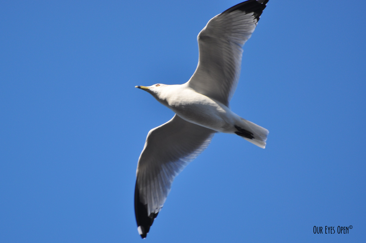 Ring-billed Gull flying overhead.