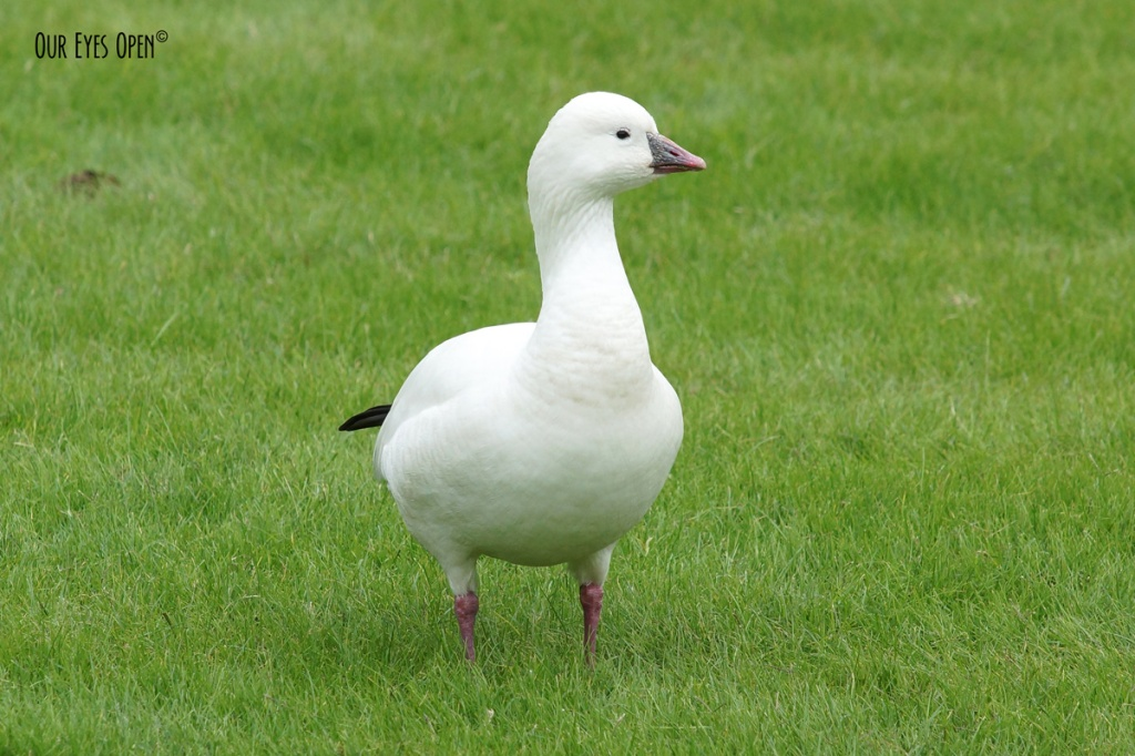 Ross's Goose was a rare bird visiting Jacksonville and is believed to flown in with a flock of Canada Geese.