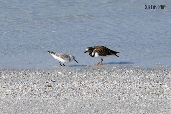 Sanderling & Ruddy Turnstone eating a meal together at Fort Desoto Park in St. Petersburg, Florida.