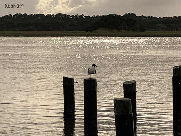 Laughing gull perched on the wooden pylons near the boat ramp at Big Talbot Island State Park.