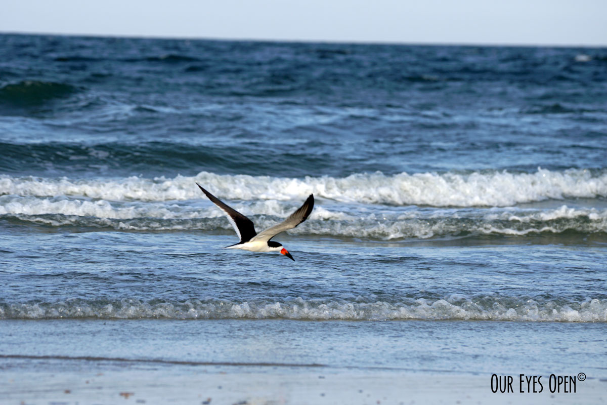 Black Skimmer scooping up food along the shoreline.
