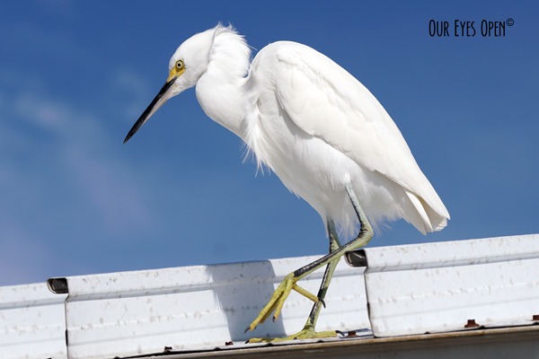 Snowy Egret hanging out on the dock roof at Fort Desoto Park in Pinellas County, Florida.