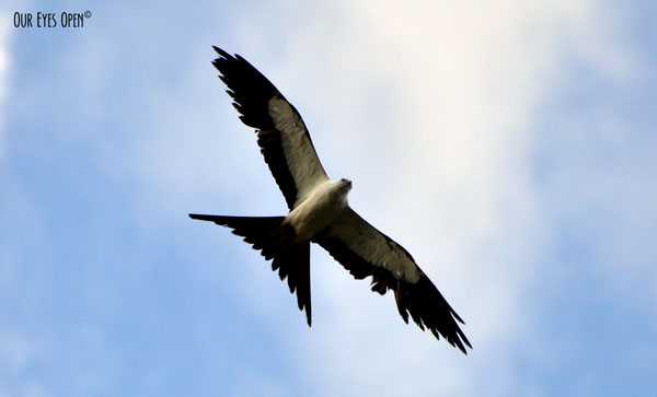 Swallow-tailed Kite in search of food high in the sky.