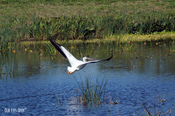 American White Pelican flying over a refuge pond at Viera Wildlife Refuge.