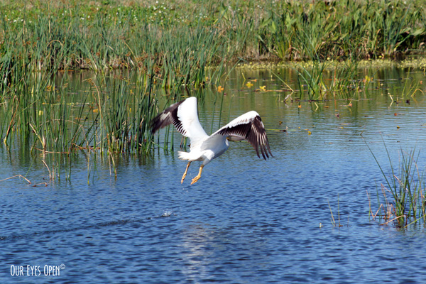 American White Pelican with wings in V-shape on second frame of shot.