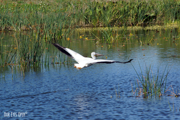 American White Pelican flying over a refuge pond at Viera Wildlife Refuge take 3.