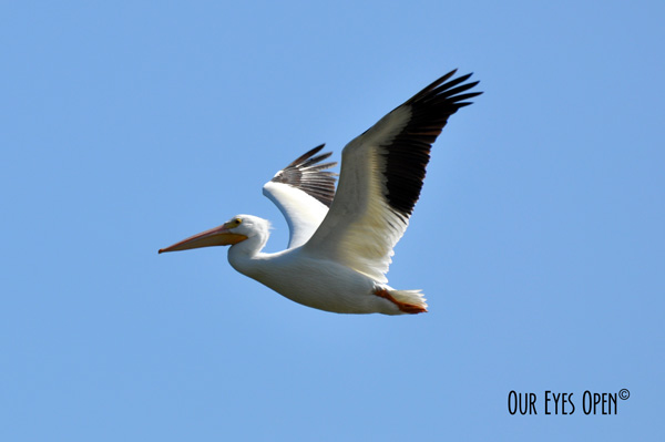 American White Pelican soaring high in the sky.