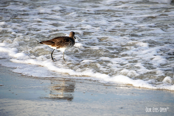 Willet feeding in the surf at Little Talbot Island State Park.