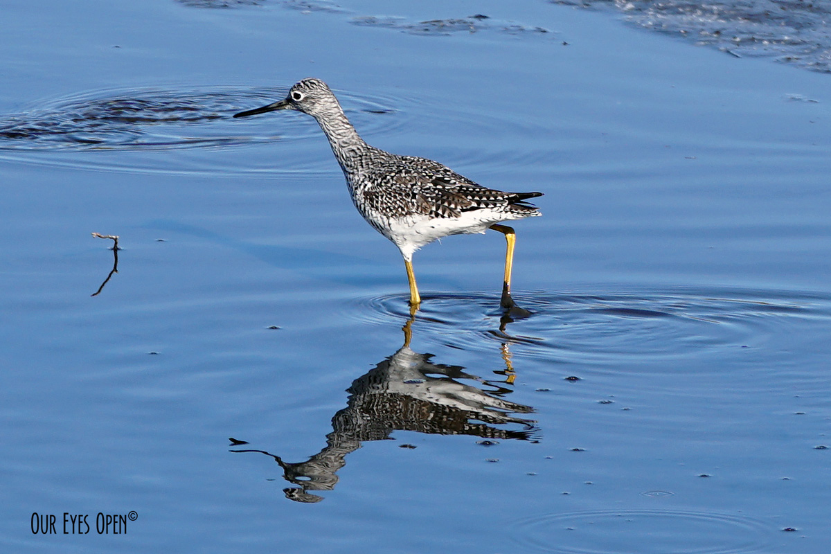Lesser Yellowlegs fishing at St. Marks Wildlife Refuge