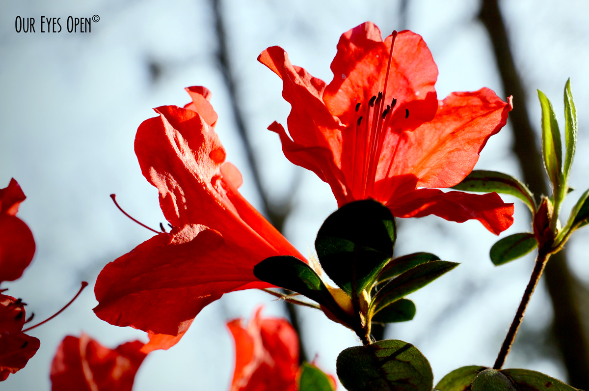 Azalea in the sunlight
