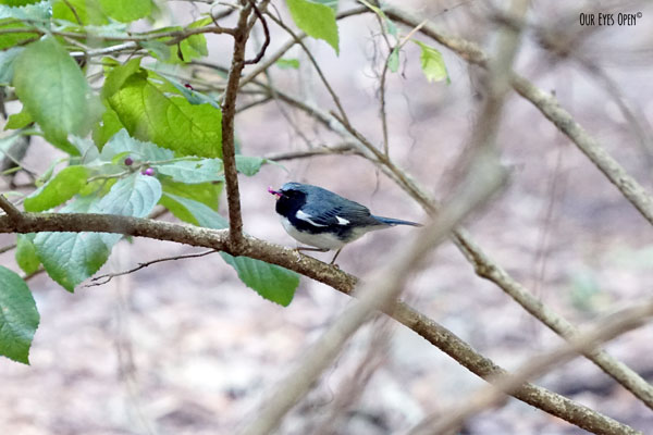 Black-throated blue warbler eating a berry from the bush at Tree Hill Nature Center in Jacksonville, Florida.