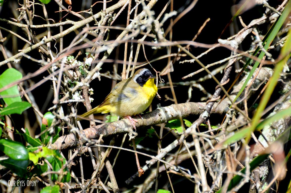 Male Common Yellowthroat flitting around the brush.
