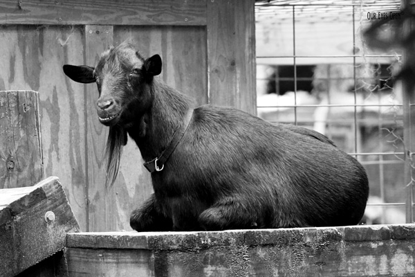 Smiling goat lounging high above the ground on a platform.