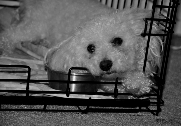Heaven, our 13 1/2 year old Bichon Frise moping in her kennel to be fed.  The door was open, it was her choice to lay in there.