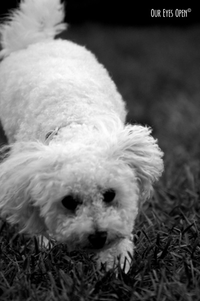 Heaven, our bichon sniffing around the yard as a young pup.