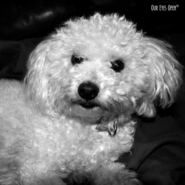 "Heaven, our bichon has a look of, ""you've got to be kidding me"" on her loveable face."