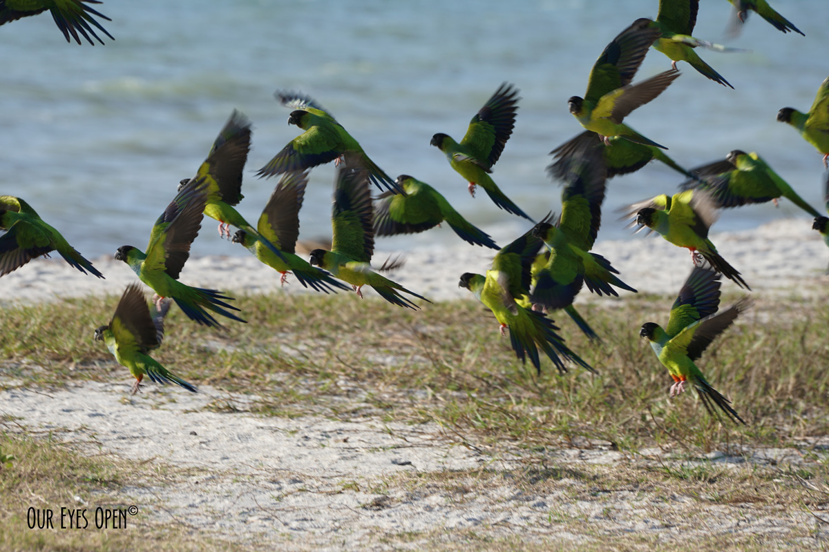 Nanday Parakeets taking off from the beach at Fort Desoto Park in Florida.