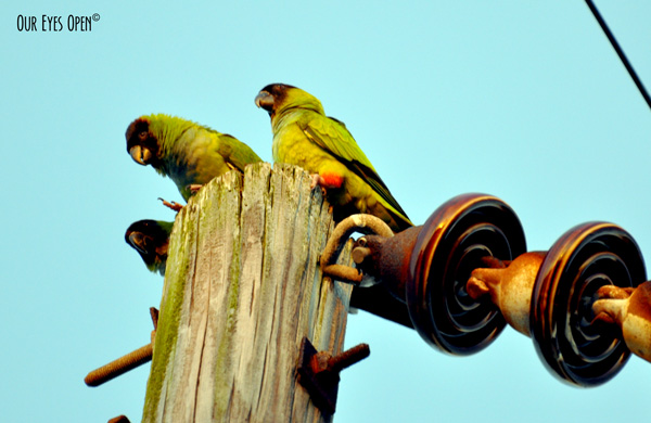 Nanday Parakeets sitting on top of an electrical pole in St. Petersburg, Florida.