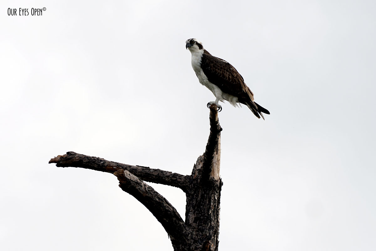 Osprey perched up on top of a piece of driftwood.
