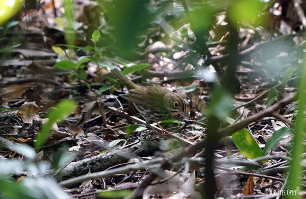 Ovenbird feeding and hiding in the forest. They have a freckled chest and yellow & black stripe over the top of their head.